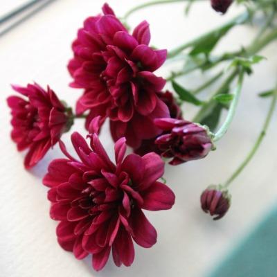 BurgundyChryssies